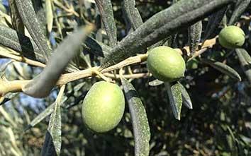 huile-d'olive-domaine-oliversion-olive-verte-min