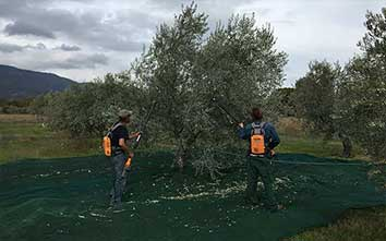 huile-d'olives-domaine-oliversion-la-récolte-min