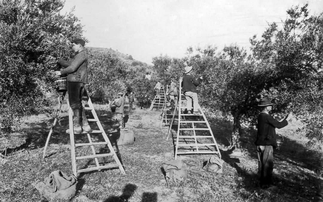 La récolte des olives approche !