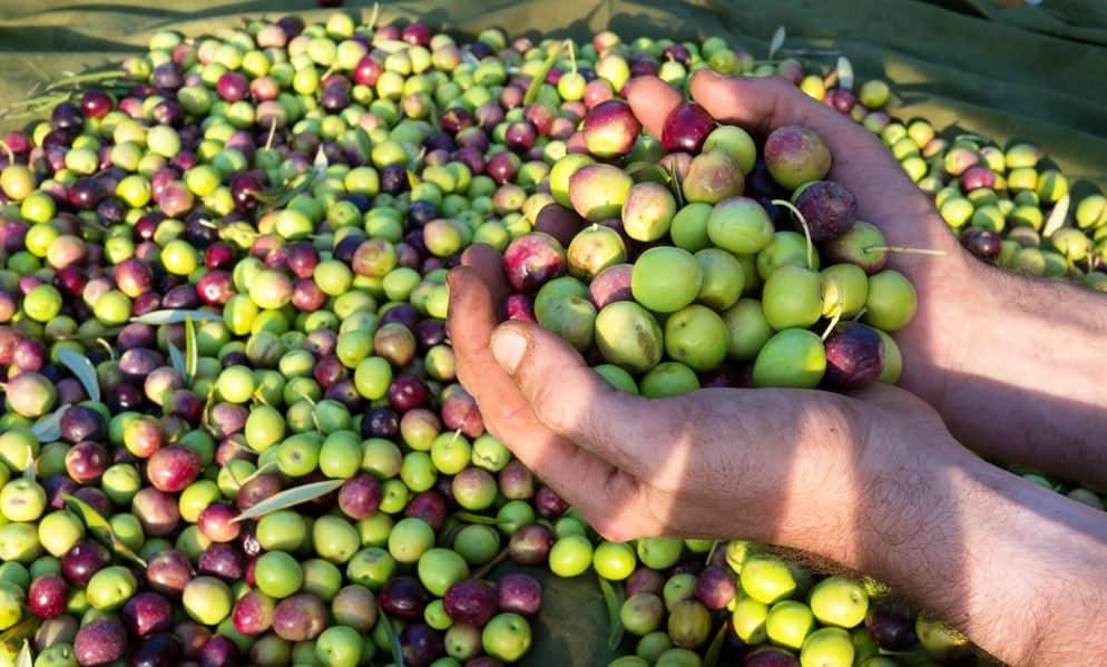 Presse de vos olives au Moulin